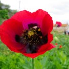 Abelha bombus terrestris na papoila (Bee Bombus terrestris in poppy)